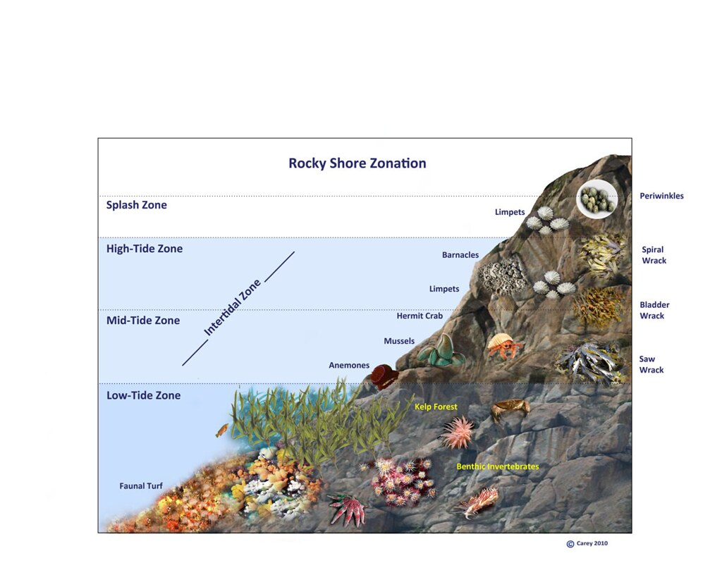 Rocky Shore Zonation Ecological Zonation Of The Rocky