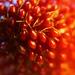Macro ornamental strawberry...or ants!?!