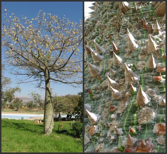 Thorn Tree Israel Flickr Photo Sharing