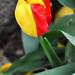 Blended Tulip