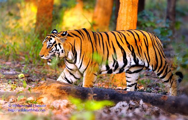 royal bengal tiger scientific name