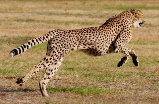 Cheetah Run 4 | by Garden Isle Images