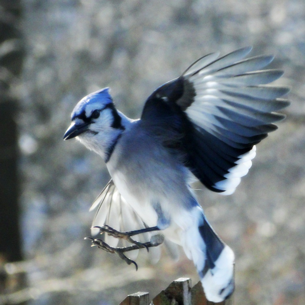 blue jay landing angela flickr