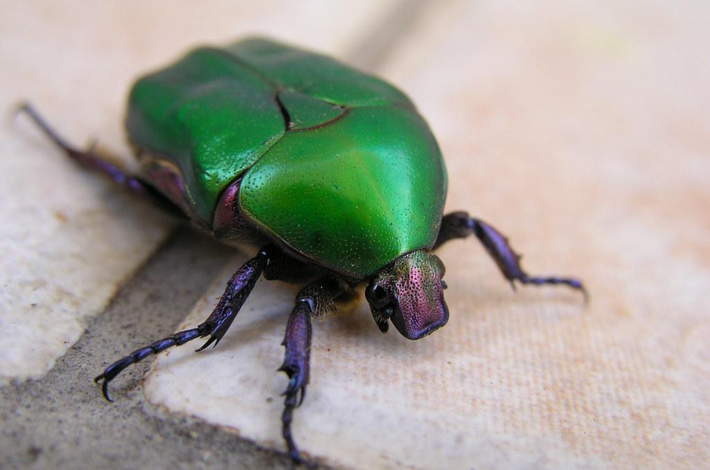 Green June beetle | Common Name: Green June beetle ... - photo#36