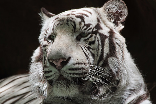 White Tiger | by Ray Chiarello