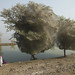 Trees cocooned in spider webs, an unexpected side effect of the flooding in Sindh, Pakistan