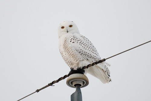 Snowy Owl DSC_3098 | by Trish Sweett
