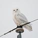 Snowy Owl DSC_3098
