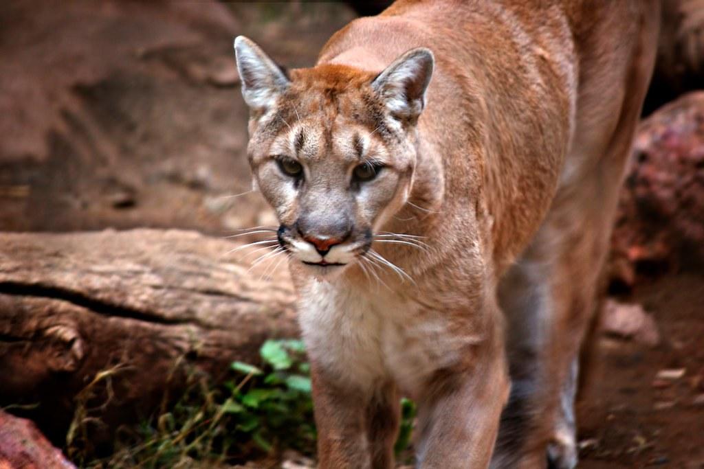 美洲獅。圖片來源:CEBImagery.com(CC BY-NC 2.0)。