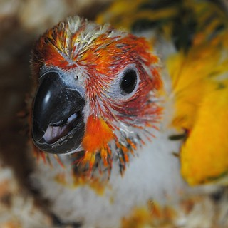 Yellow, orange, black beak and pin feathers.... a Baby Parrot up close | by jungle mama
