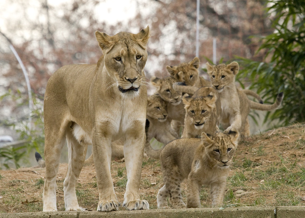 smithsonians national zoos lion cubs now on exhibit flickr