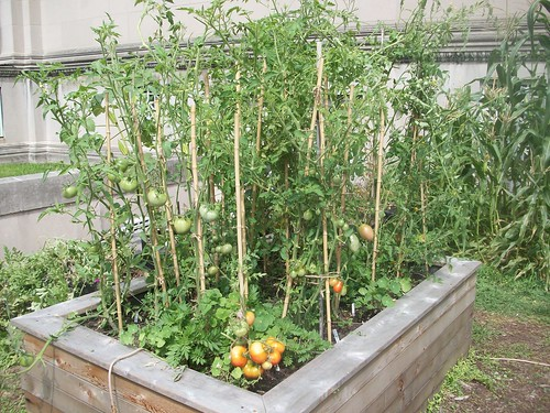 Tomatoes Growing In Square Foot Garden Explore U Of Il Ext Flickr Photo Sharing