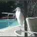 great egret1 norma lent laf