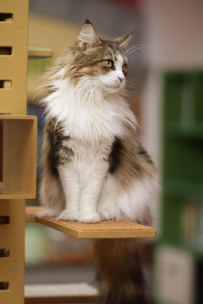 Main Coon Cat For Sale In Nebraska