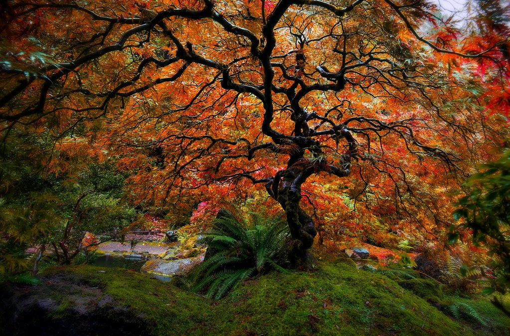 Portland fall japanese maple i have been keeping an eye - Portland japanese garden free day ...