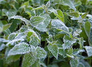 Frost on nettle | by PermaCultured