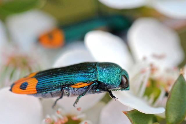 Jewel Beetle | Flickr - Photo Sharing!