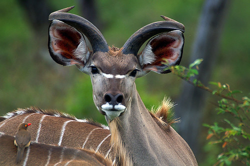 Young kudu bull | by Arno Meintjes Wildlife