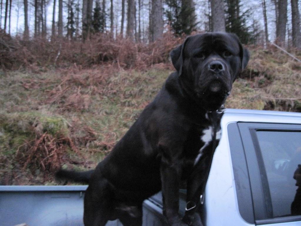 Neapolitan Mastiff X Rottweiler Marcpous