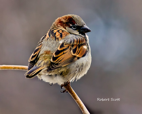 Male English Sparrow. | by Robert Scott Photographyy