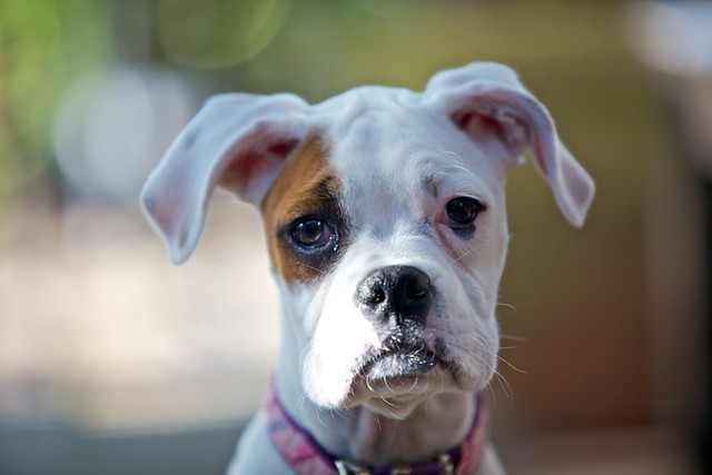 White Boxer Puppy | Flickr - Photo Sharing!