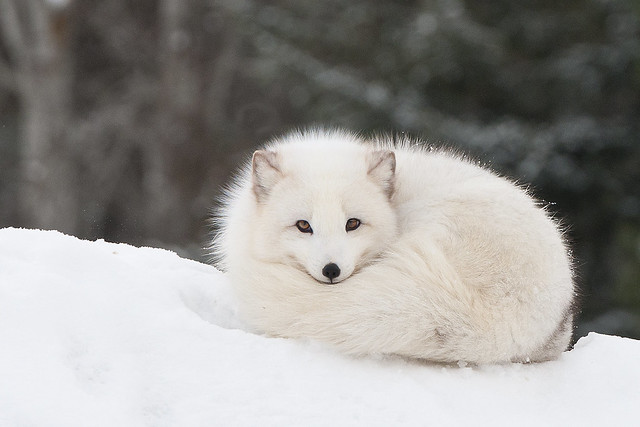 Arctic Fox Flickr Photo Sharing