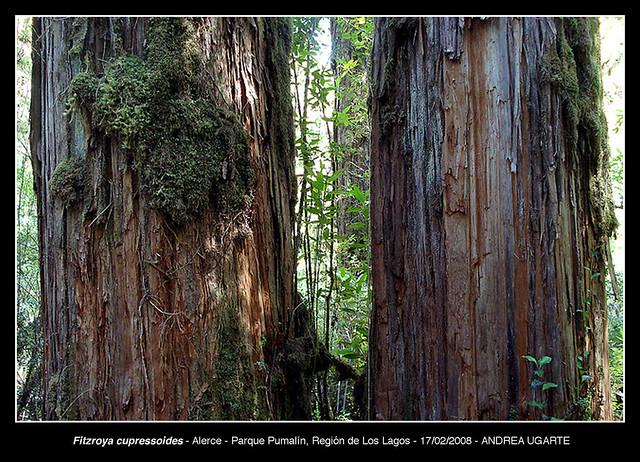 Fitzroya cupressoides troncos