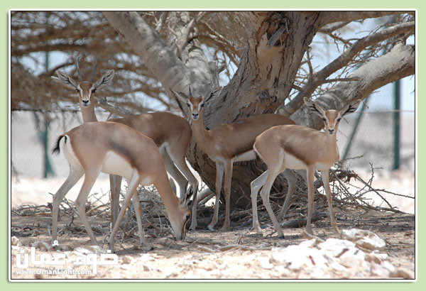 Arabian Oryx Protected Area | This sanctuary is located in ...