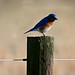 Eastern Bluebird 1A_1