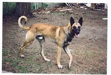 Malinois Greyhound | You won't get away.... | Sidelines ...