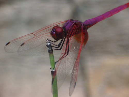 Dragonfly | by Shoops2011