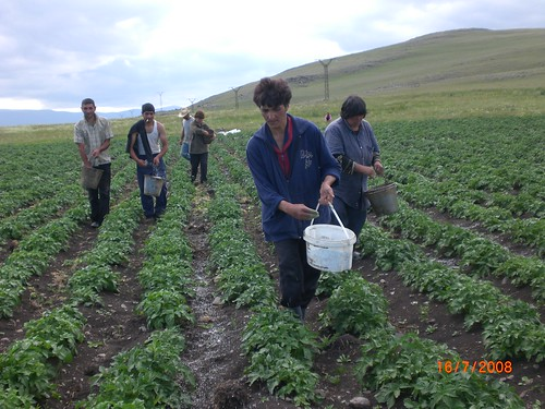 Potato fertilization process, Tavshut community, Shirak region | by UNDP in Europe and Central Asia