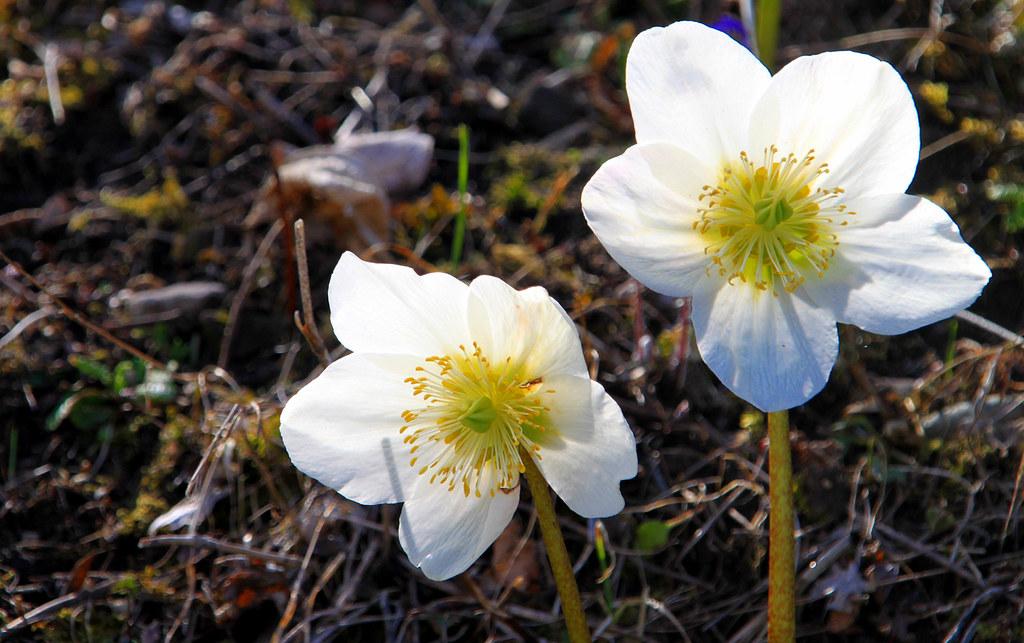 Ellebori l 39 elleboro bianco nome scientifico helleborus for Elleboro bianco