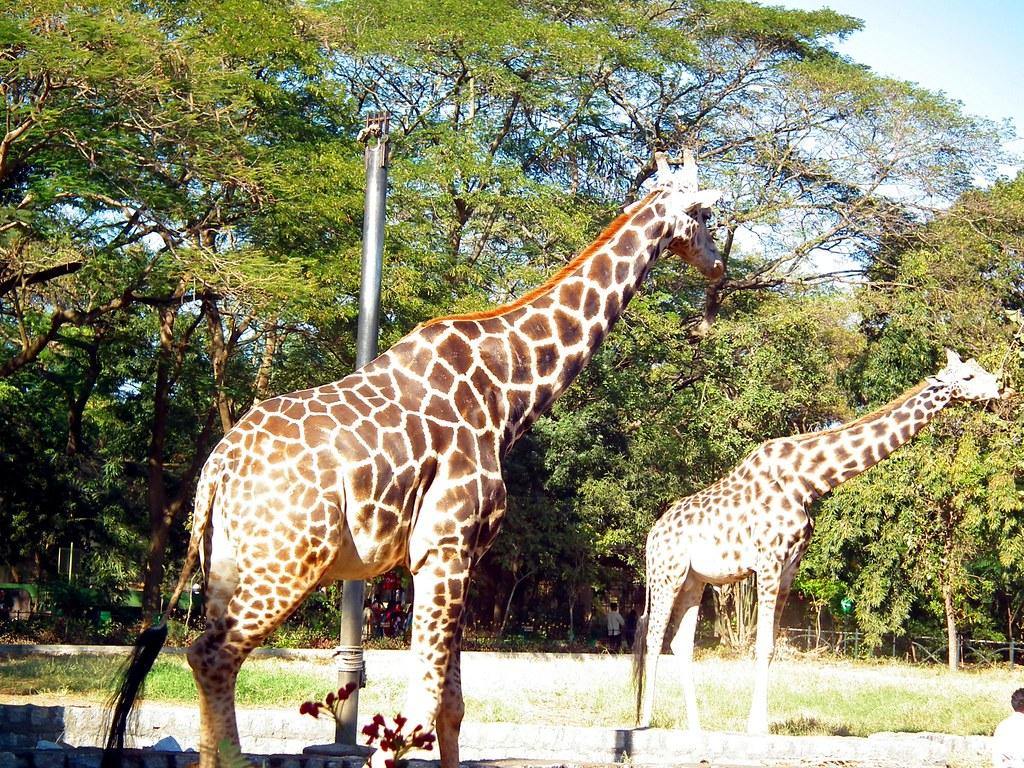 Ungulate Zoo Two giraffe at mysore ...