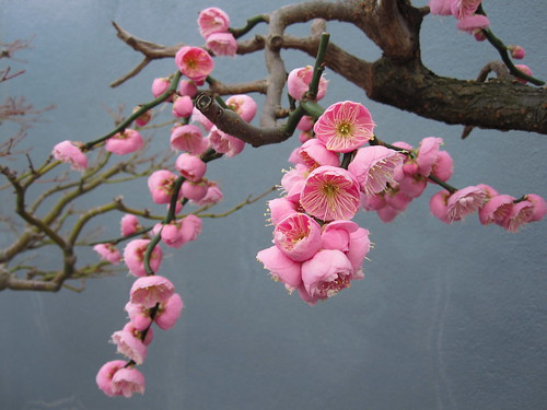 Prunus mume 'Bonita' | by Brooklyn Botanic Garden