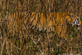 Camouflaged tiger | by Panthera Cats