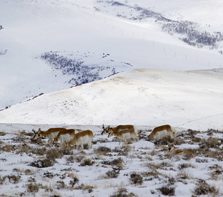 Pronghorns 8 | by carfull...