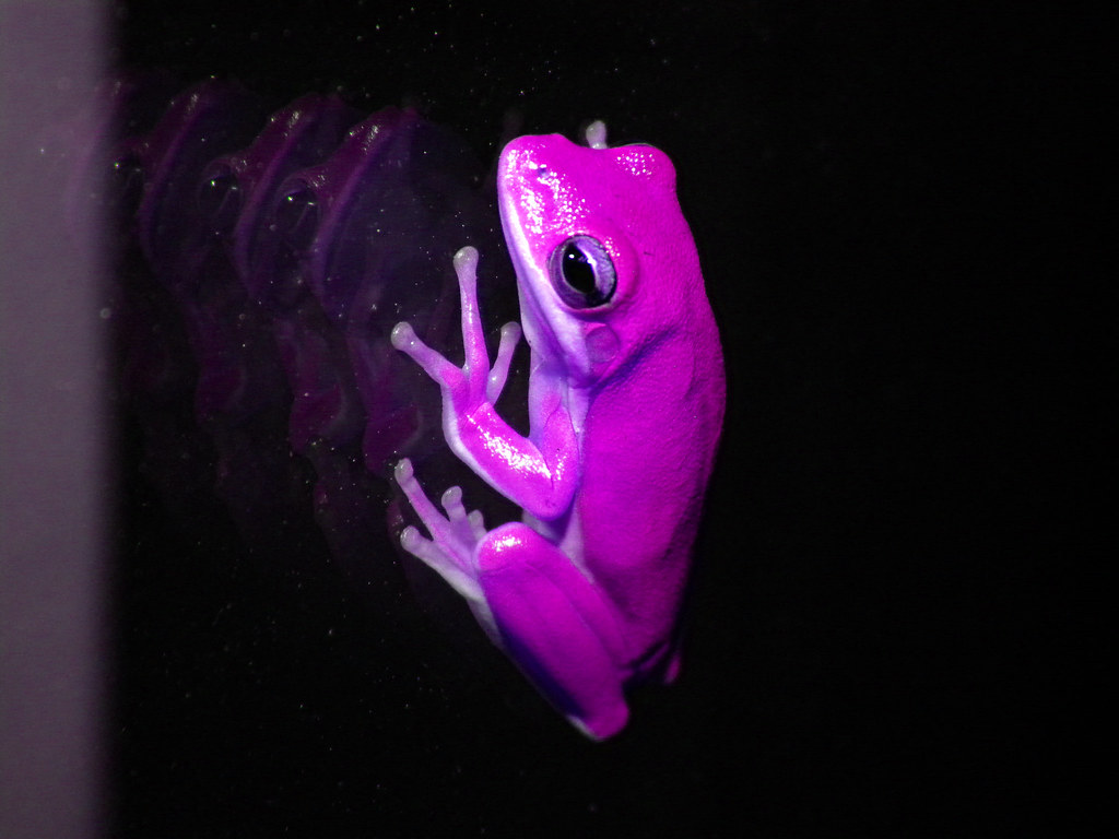 Pink frog - photo#47