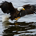 Bald Eagle Reflections in the Water
