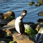 Cormorant in Puerto Natales