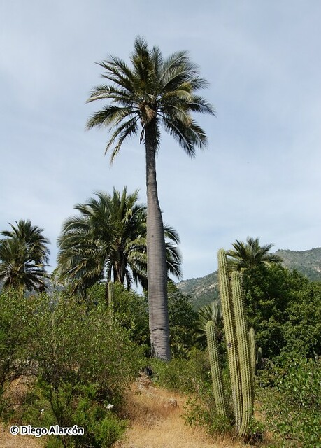 Hábito de la Palma chilena, Jubaea chilensis