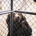 狗熊看见人被关在笼子里,显得很忧伤