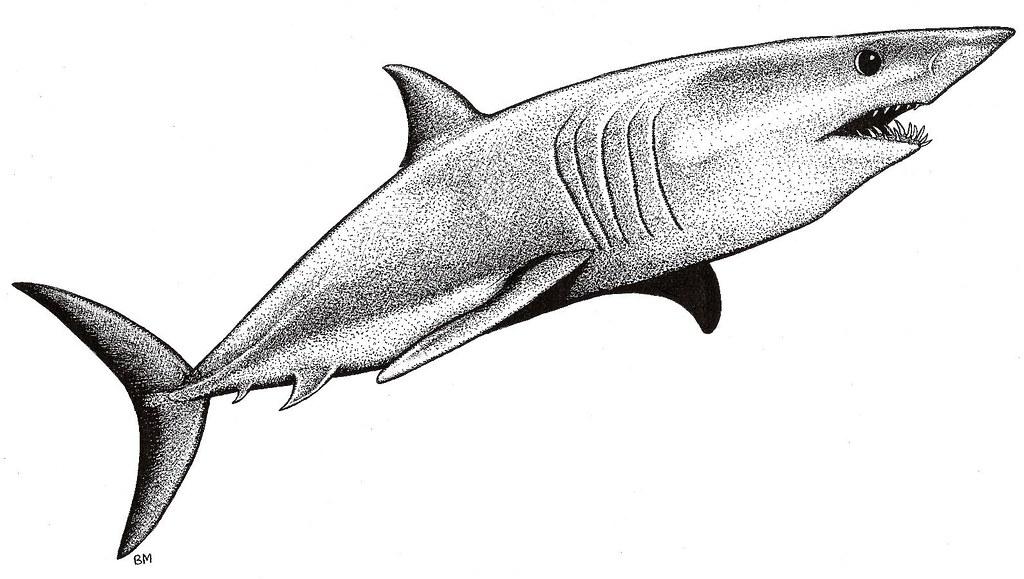 Mako Shark Pict...