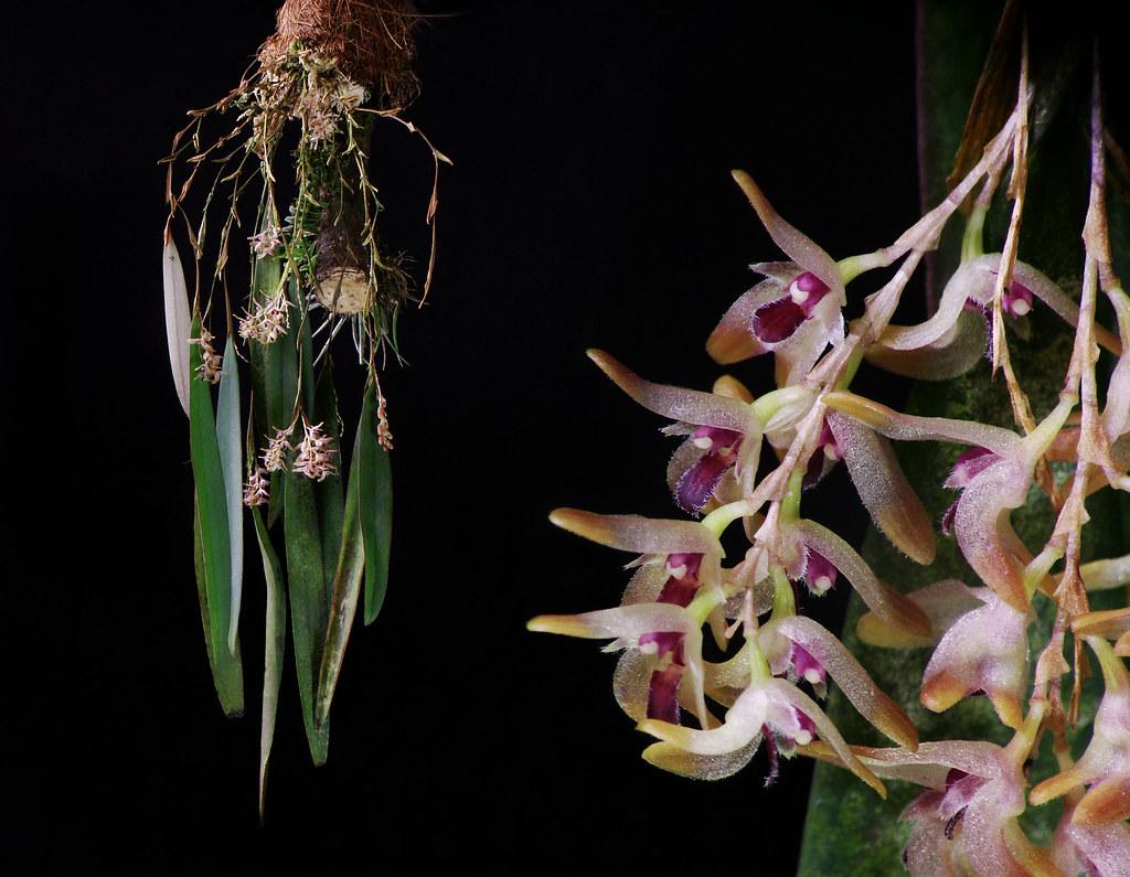 ... patula | A nice species from Venezuela 'tru Bo… | Flickr