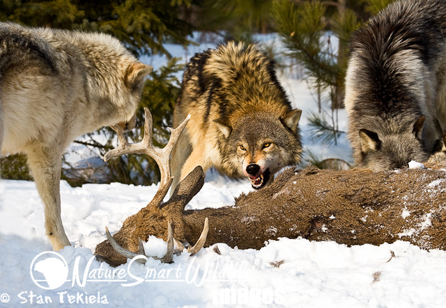 Gray Wolf (Canus lupus) | Flickr - Photo Sharing!