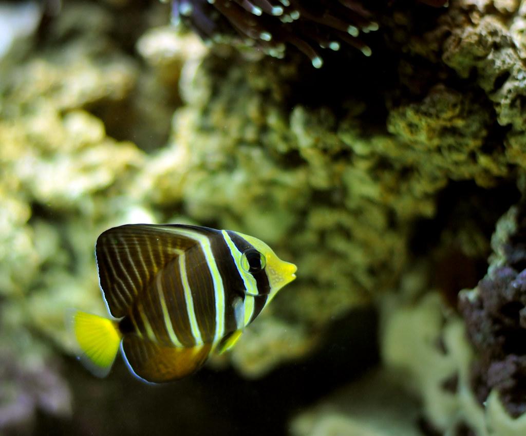 yellow black striped fish in salt water tank sail fin