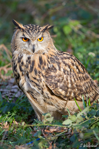 'Ethel' EAGLE OWL (Bubo bubo) | by Steven Whitehead
