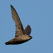 Chimney Swift06