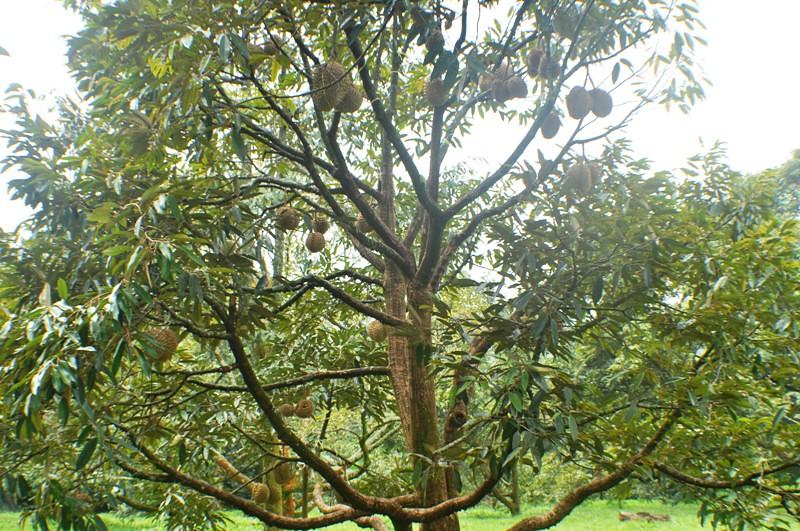 pohon durian berbuah lebat | Flickr - Photo Sharing!