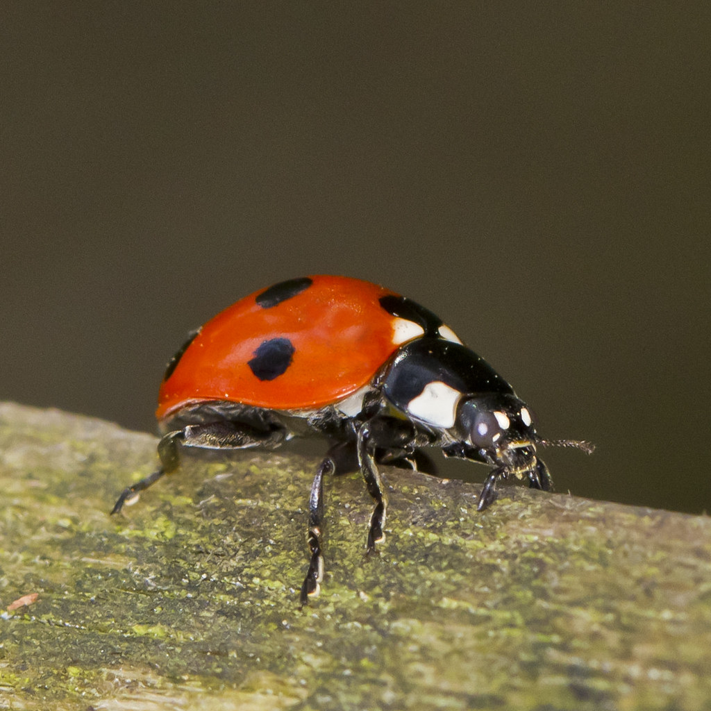 Ladybird Ladybug Mouth Parts